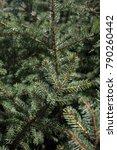 Pine Tree Close Up