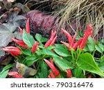 Ornamental Red Pepper Plant ...