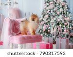 small pomeranian dog | Shutterstock . vector #790317592