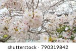 cherry blossoms are in full... | Shutterstock . vector #790319842