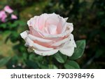 Stock photo isolate white rose in the floral garden 790398496