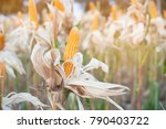 ripe corn in the rural...   Shutterstock . vector #790403722