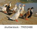 gooses | Shutterstock . vector #79052488