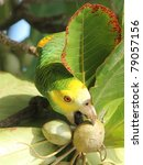 Small photo of Yellow shouldered Parrot (Amazona barbadensis) Feeding on Almonds - Bonaire, Netherlands Antilles