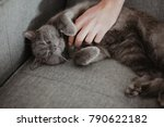 Chartreux Cat Lies On The Sofa