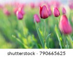 amazing nature concept of pink... | Shutterstock . vector #790665625