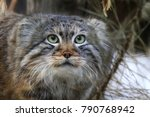 Small photo of Russia, Novosibirsk Zoo. Manul. April 2017