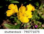 common evening primrose ... | Shutterstock . vector #790771075