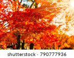 beautiful red maple leaves in... | Shutterstock . vector #790777936