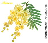 vector branch of outline mimosa ... | Shutterstock .eps vector #790850848