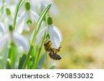 bee in snowdrop. early spring... | Shutterstock . vector #790853032