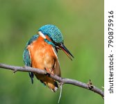 kingfisher  alcedo atthis  in... | Shutterstock . vector #790875916
