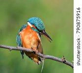kingfisher  alcedo atthis  in... | Shutterstock . vector #790875916