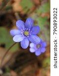 Hepatica Early Spring Flowers...
