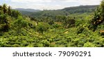 Panorama Of Tea Plantaition In...