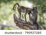 chacma baboon in kruger... | Shutterstock . vector #790927285