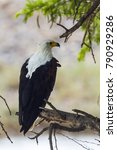 Small photo of African fish eagle in Kruger national park, South Africa ; specie Haliaeetus vocifer family of Accipitridae