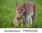 lynx lynx wildlife slovakia   Shutterstock . vector #790932202