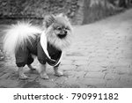 the wear  aggressive spitz dog... | Shutterstock . vector #790991182
