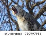 a snow leopard | Shutterstock . vector #790997956