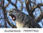 a snow leopard | Shutterstock . vector #790997962