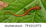 Long Tailed Salamander  Euryce...