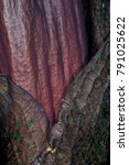 Small photo of Inflorescence of a Vodoo Lily (Amorphophallus spec.)