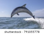 Bottlenose Dolphin    Tursiops...
