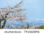beautiful full blooming of... | Shutterstock . vector #791060896