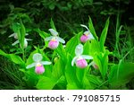 beautiful showy lady's slipper  ... | Shutterstock . vector #791085715