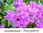 Bougainvillea Or Paper Flower...