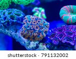Small photo of Micromussa Coral on live rock