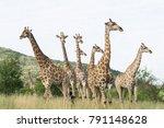 south african giraffe  giraffa  ... | Shutterstock . vector #791148628