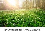 beautiful white flowers of... | Shutterstock . vector #791265646