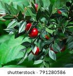 bucher's broom with berries   Shutterstock . vector #791280586