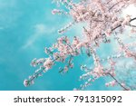 pink branches of a blossoming... | Shutterstock . vector #791315092