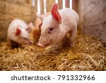 group of pigs at animal farm. | Shutterstock . vector #791332966