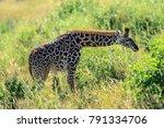 the masai giraffe  also spelled ... | Shutterstock . vector #791334706
