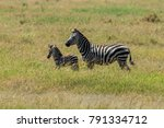 the plains zebra  also known as ... | Shutterstock . vector #791334712