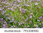 Spring Flowers Wild Carnation