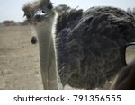 Ostrich In Desert Looking In...