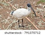 the white ibis has a long black ... | Shutterstock . vector #791370712