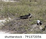 nesting colony of magnificent... | Shutterstock . vector #791372056
