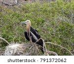 female magnificent frigatebird  ... | Shutterstock . vector #791372062
