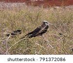 female magnificent frigatebird  ... | Shutterstock . vector #791372086