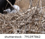 male magnificent frigatebird ... | Shutterstock . vector #791397862