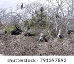 nesting colony of magnificent... | Shutterstock . vector #791397892