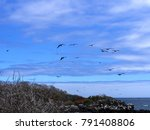 flying magnificent frigatebird  ... | Shutterstock . vector #791408806