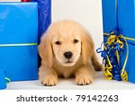 An adorable 8 week old Golden Retriever Puppy laying down next to presents - stock photo