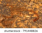 Small photo of Bark scorpion, Isometrus vittatus which bears a long metasoma and short sting. Common on tree trunks. Chengalpettu, Tamil Nadu, India